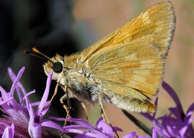 Woodland Skipper<br />© Christian Nunes<br />Mallory Cave Trail<br />Boulder County
