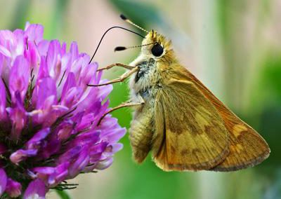 Woodland Skipper<br />© Christian Nunes