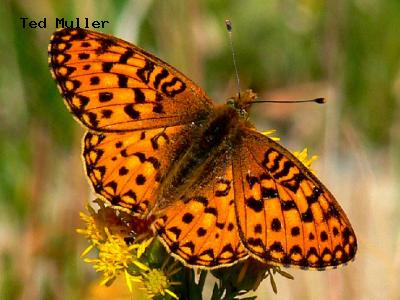 Zerene Fritillary<br /> © Ted Mulle